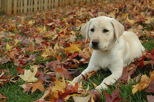 Yellow lab in autumn